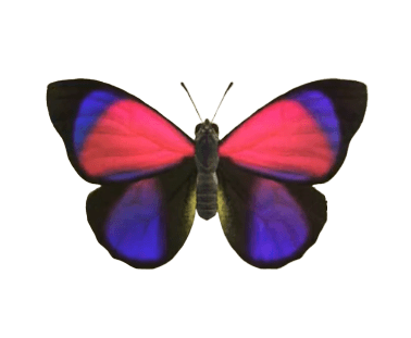 Agrias Butterfly - Animal Crossing: New Horizons Insect Guide