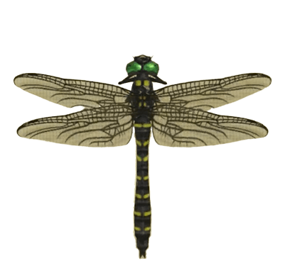 Banded Dragonfly - Animal Crossing: New Horizons Insect Guide