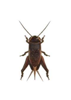 Cricket - Animal Crossing: New Horizons Insect Guide