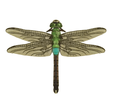 Darner Dragonfly - Animal Crossing: New Horizons Insect Guide