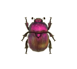 Earth-boring Dung Beetle - Animal Crossing: New Horizons Insect Guide