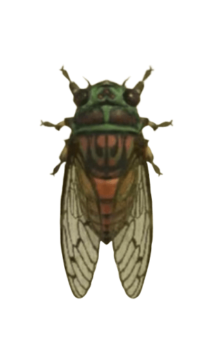 Evening Cicada - Animal Crossing: New Horizons Insect Guide