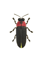 Firefly - Animal Crossing: New Horizons Insect Guide