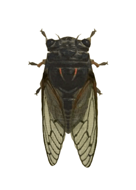 Giant Cicada - Animal Crossing: New Horizons Insect Guide