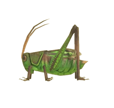 Grasshopper - Animal Crossing: New Horizons Insect Guide