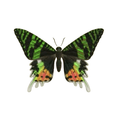 Madagascan Sunset Moth - Animal Crossing: New Horizons Insect Guide