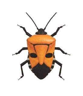 Man-faced Stink Bug - Animal Crossing: New Horizons Insect Guide