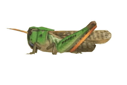 Migratory Locust - Animal Crossing: New Horizons Insect Guide