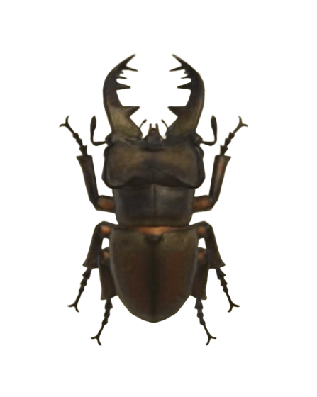 Miyama Stag - Animal Crossing: New Horizons Insect Guide