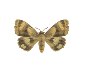 Moth - Animal Crossing: New Horizons Insect Guide