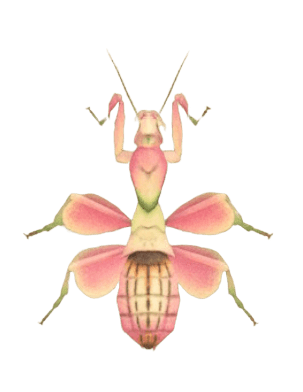 Orchid Mantis - Animal Crossing: New Horizons Insect Guide