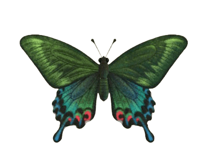 Peacock Butterfly - Animal Crossing: New Horizons Insect Guide