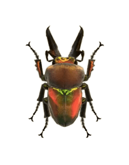 Rainbow Stag - Animal Crossing: New Horizons Insect Guide
