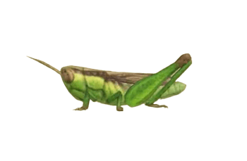 Rice Grasshopper - Animal Crossing: New Horizons Insect Guide