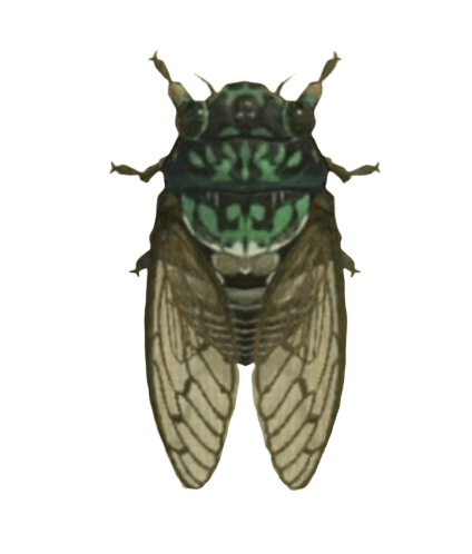 Robust Cicada - Animal Crossing: New Horizons Insect Guide