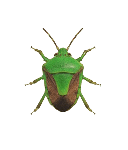 Stinkbug - Animal Crossing: New Horizons Insect Guide