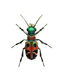 Tiger Beetle - Animal Crossing: New Horizons Insect Guide