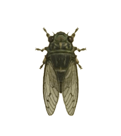 Walker Cicada - Animal Crossing: New Horizons Insect Guide