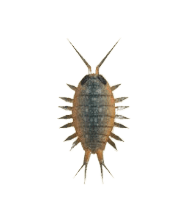 Wharf Roach - Animal Crossing: New Horizons Insect Guide