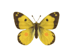 Yellow Butterfly - Animal Crossing: New Horizons Insect Guide