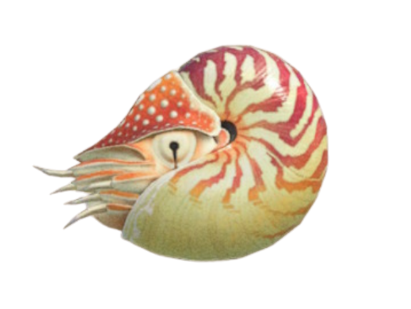 Chambered Nautilus - Animal Crossing: New Horizons