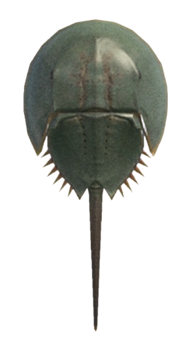 Horseshoe Crab - Animal Crossing: New Horizons