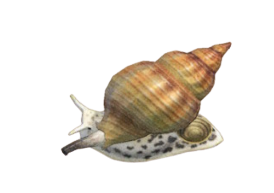 Whelk - Animal Crossing: New Horizons